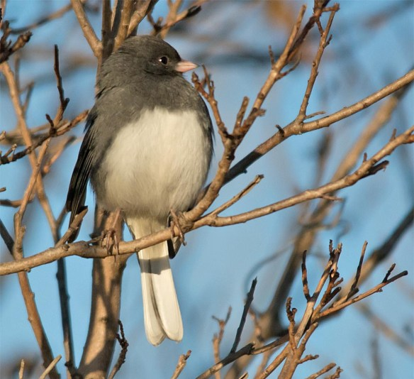 dark-eyed-junco-2016-15