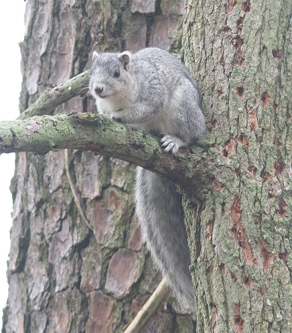Delmarva Fox Squirrel 4