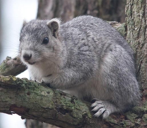 Delmarva Fox Squirrel 5