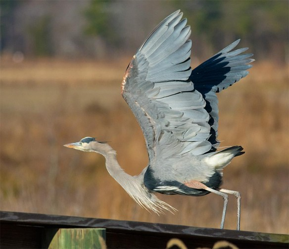 Great Blue Heron 2016-104
