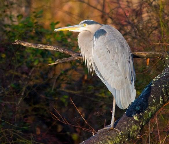 Great Blue Heron 2016-105