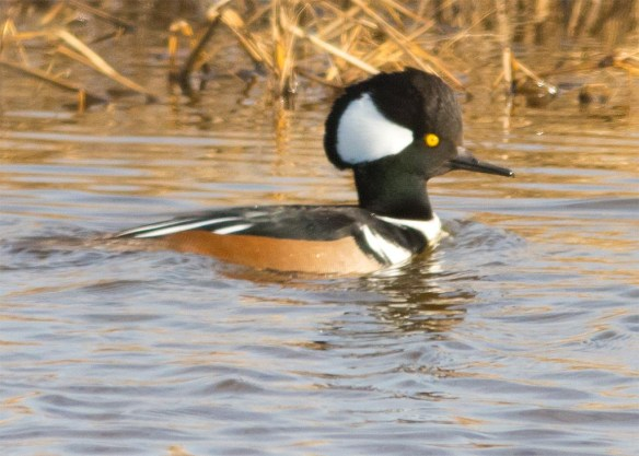Hooded Merganser 2016-10