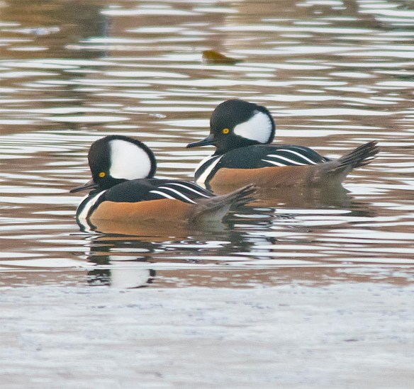 Hooded Merganser 2016-8