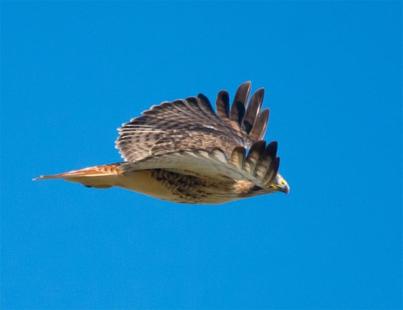 Red Tailed Hawk 2016-12