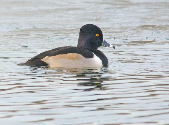 Ring Necked Duck 2016-31
