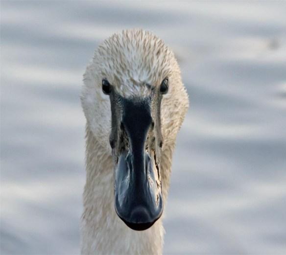trumpeter-swan-2016-23