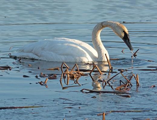 Trumpeter Swan 2016-25