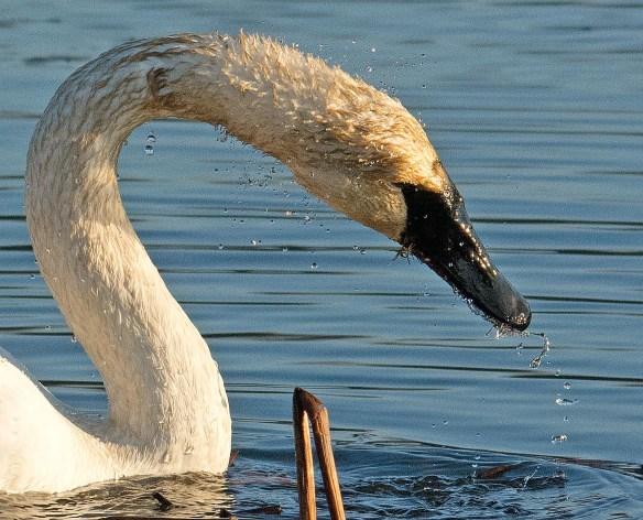 Trumpeter Swan 2016-26