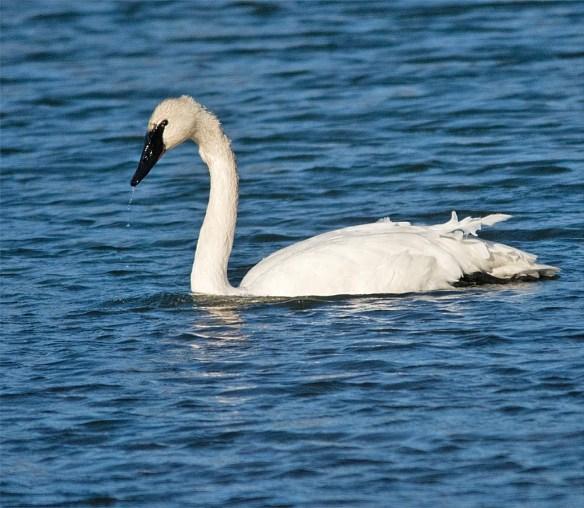 trumpeter-swan-2016-3