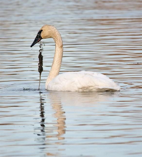 Trumpeter Swan 2016-31