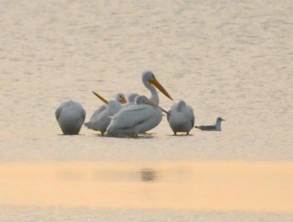 American White Pelican 2017-1