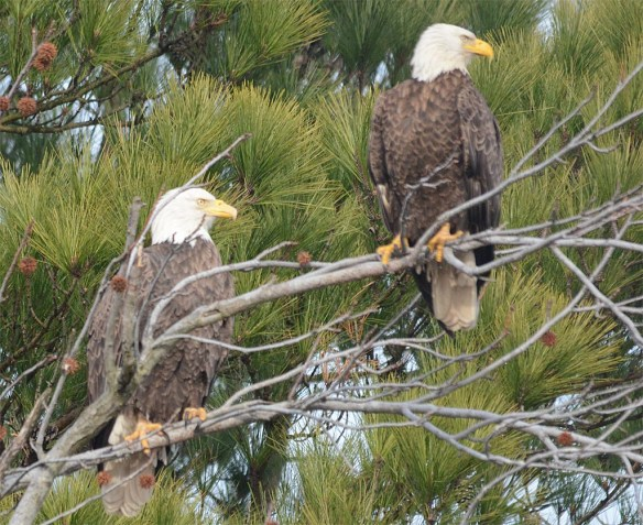 Bald Eagle 2017-14