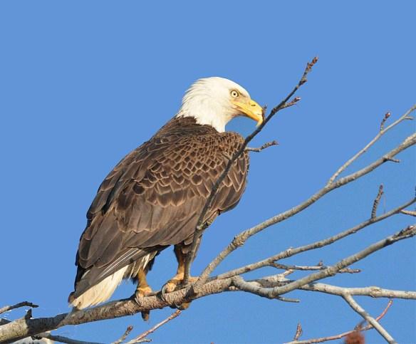 Bald Eagle 2017-24