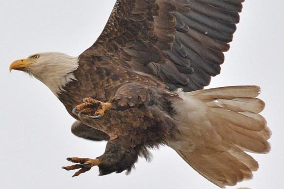 Bald Eagle 2017-32