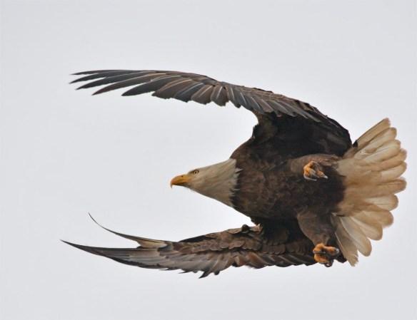 Bald Eagle 2017-34
