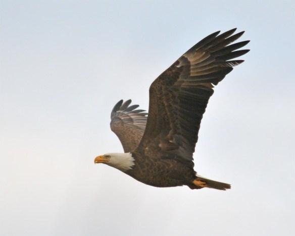 Bald Eagle 2017-35