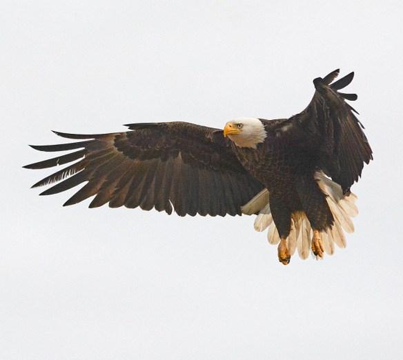 Bald Eagle 2017-8
