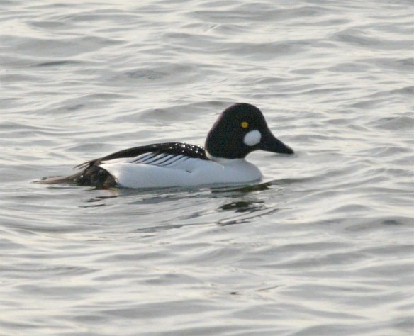 Common Goldeneye 2017-35