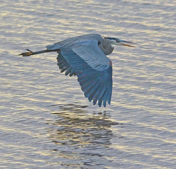 Great Blue Heron 2017-11