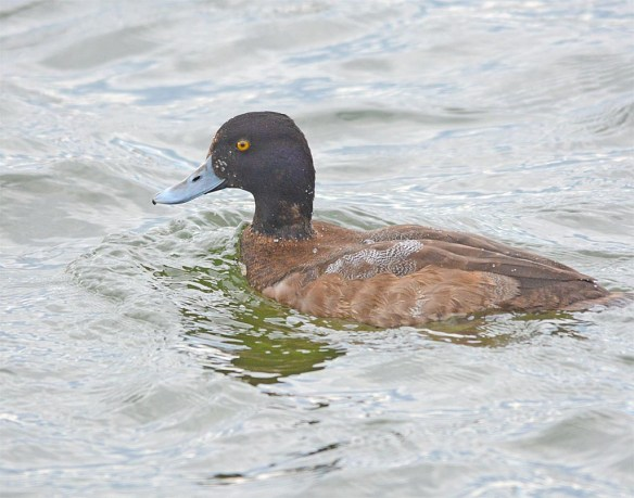 Greater Scaup 2017-1