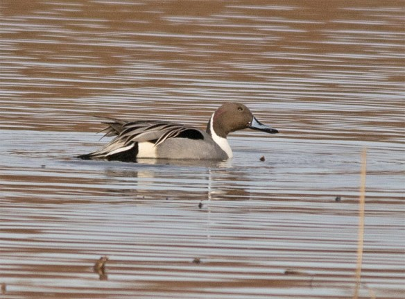 Northern Pintail 2017-1