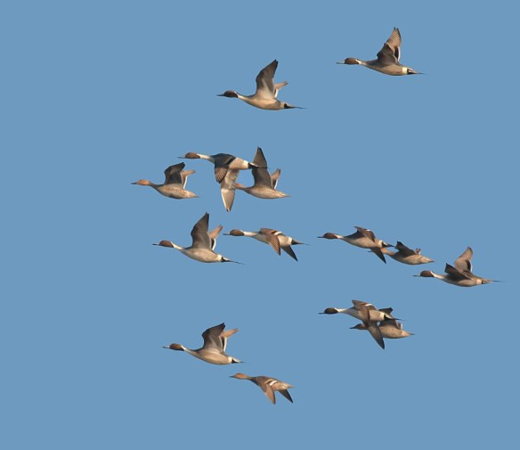 Northern Pintail 2017-2
