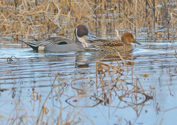 Northern Pintail 2017-5
