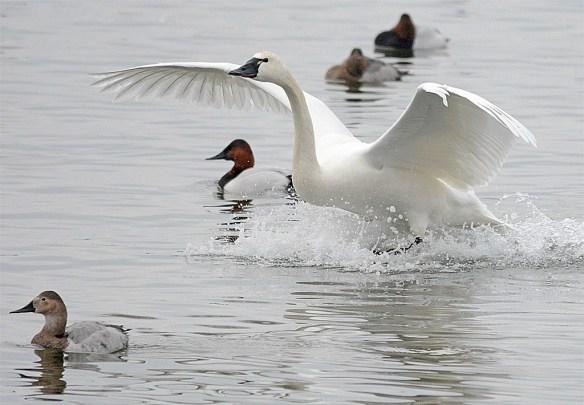 Tundra Swan 2017-12