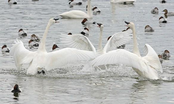 Tundra Swan 2017-14
