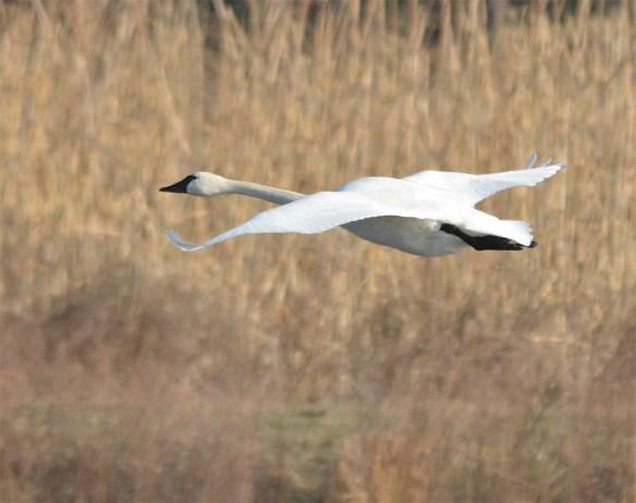 Tundra Swan 2017-27