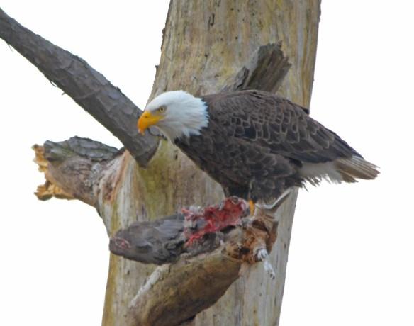 Bald Eagle 2017-38
