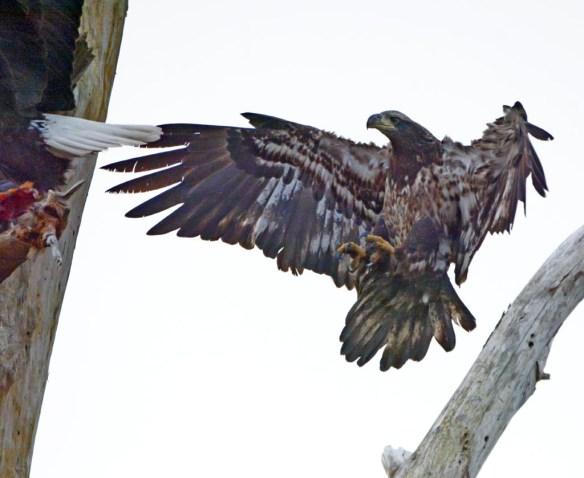 Bald Eagle 2017-40