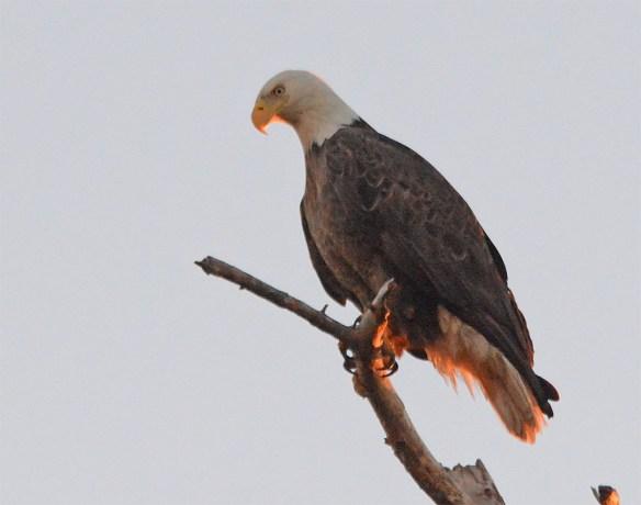 Bald Eagle 2017-46