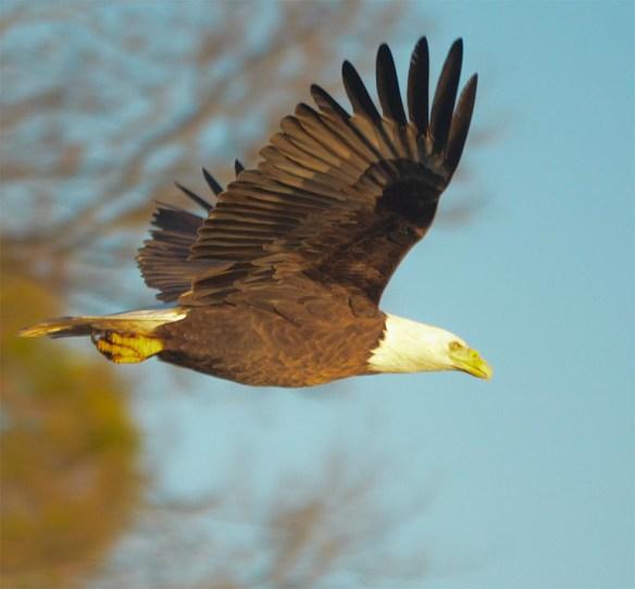 Bald Eagle 2017-52