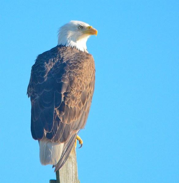 Bald Eagle 2017-54