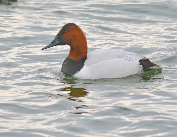Canvasback 2017-10