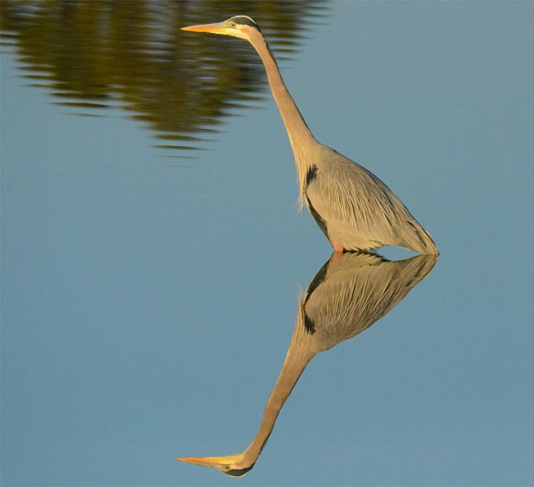 Great Blue Heron 2017-14