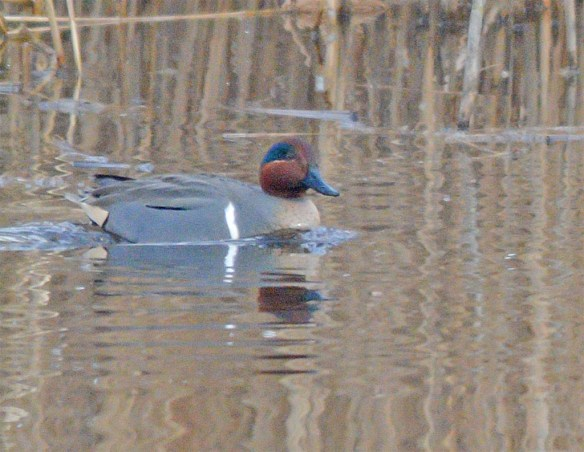 Green Winged Teal 2017-1
