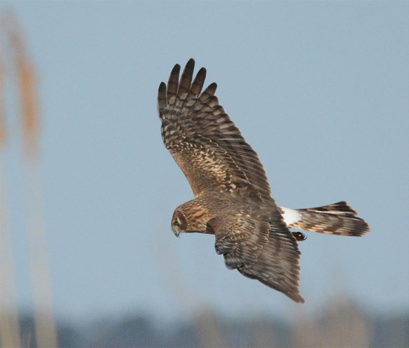 Northern Harrier 2017-3