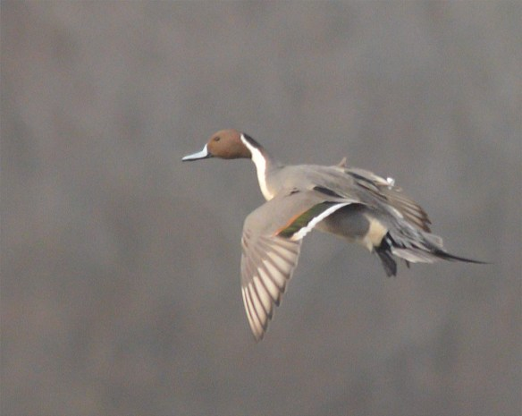 Northern Pintail 2017-10