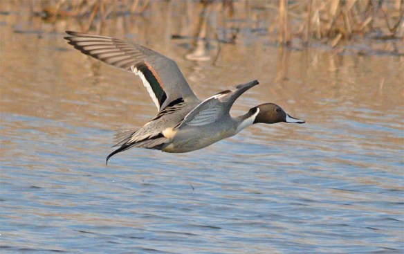 Northern Pintail 2017-11