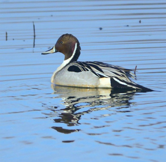Northern Pintail 2017-14