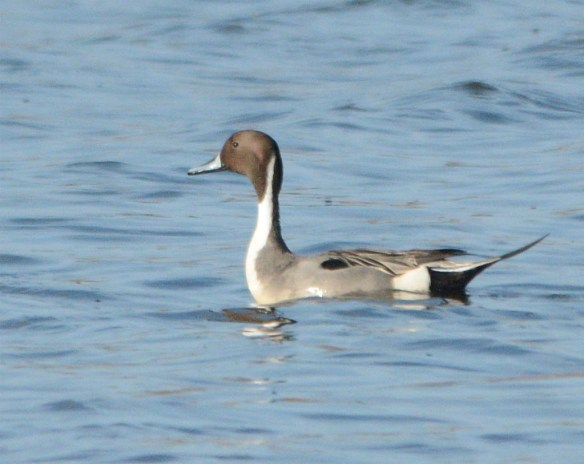 Northern Pintail 2017-22