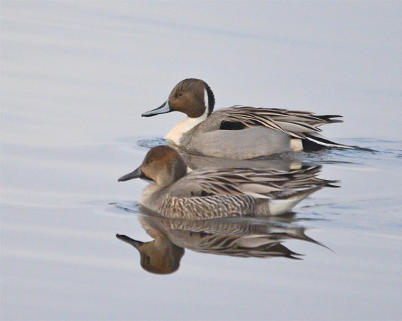 Northern Pintail 2017-9