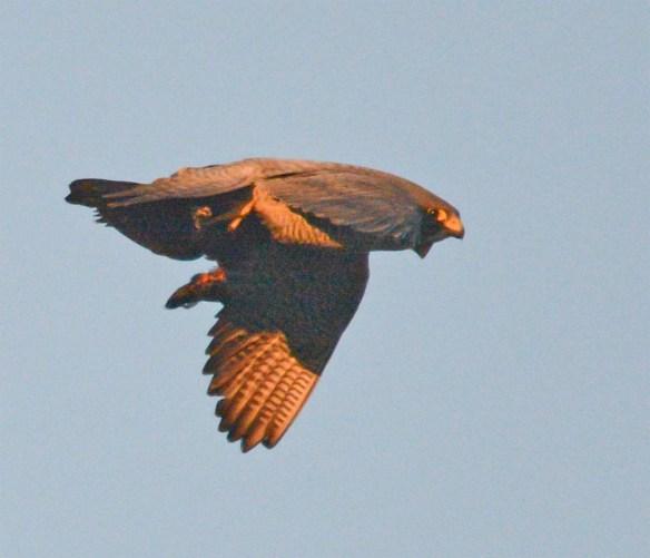 Peregrine Falcon 2017-1