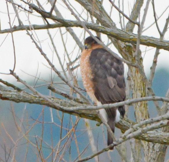 Red Shouldered Hawk 2017-5