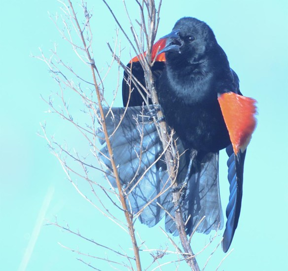Red Winged Blackbird 2017-3