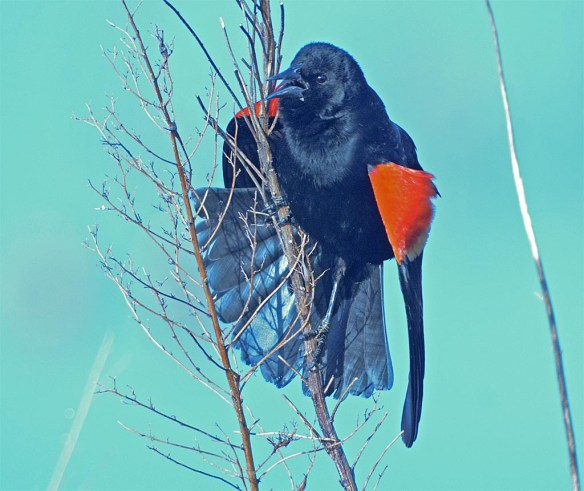 Red Winged Blackbird 2017-5