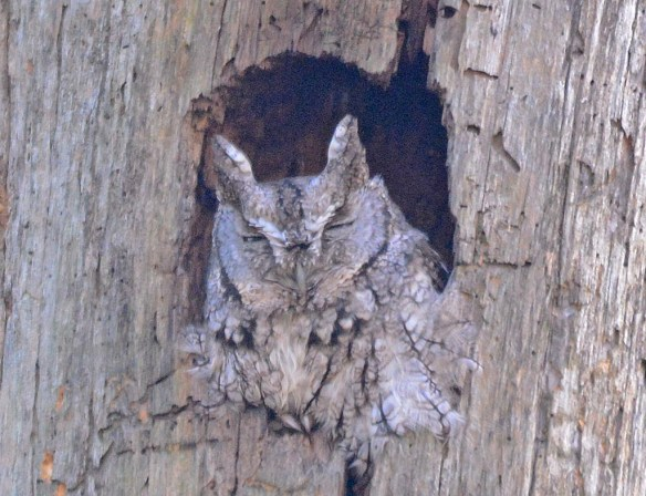 Screech Owl 2017-2