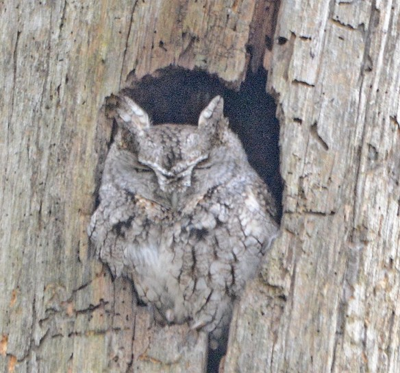 Screech Owl 2017-3